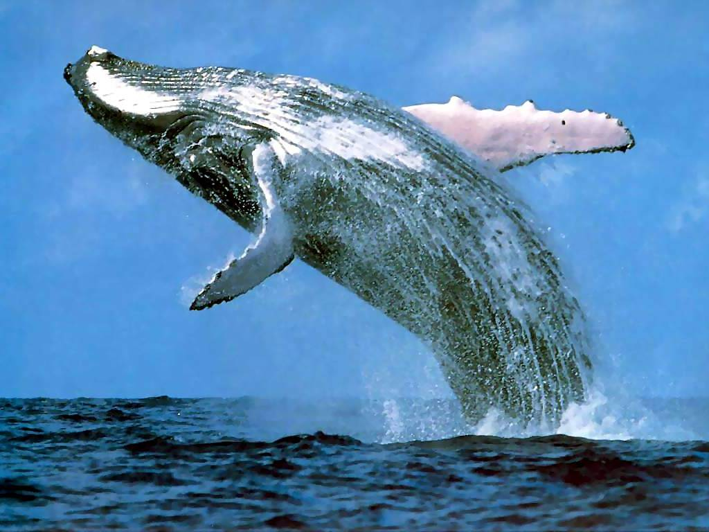 Its Whale Mating Season The Panama Digest